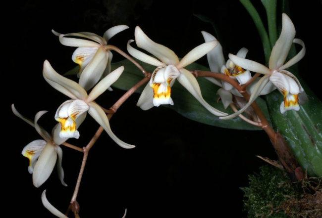 Орхидея-ангел — целогина
